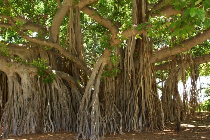 banyan-tree-1049021