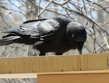 You have heard me talk about him, here he is, Chuck, my summer crow.