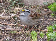 A white-throated sparrow whose whistle song I enjoy each morning.