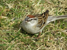 Chipping sparrows are very friendly and one of my favorite little summer birds.
