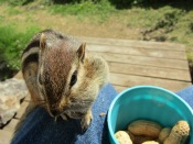 Skamper filling his cheeks with peanuts while on my knee.
