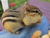 This is Checker, my newest little chipmunk friend.