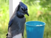 """Hmm, breakfast to go, just the way I like it,"" says Mr. Blue Jay."