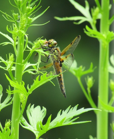 Just one of many varieties of dragonflies we have.