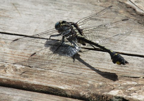 Another of our dragonflies.