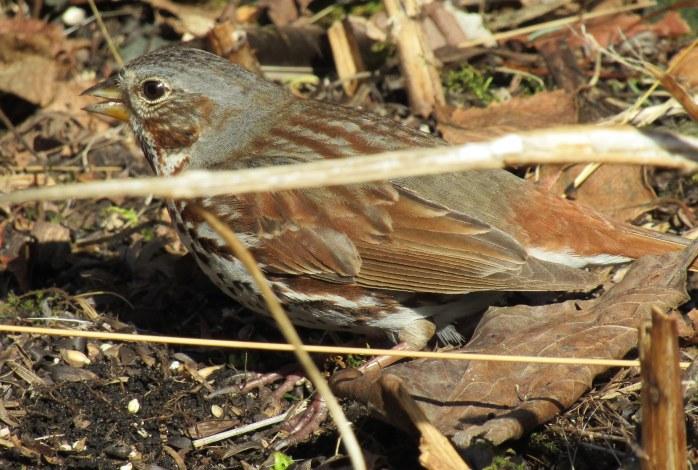 Fox sparrow 1