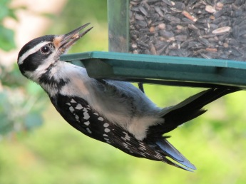 A female hairy woodpecker picking up some sunflower seeds to take back to her young ones.