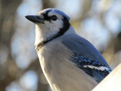 This is Baxter, my friendliest blue jay and also seems to enjoy posing for pics.