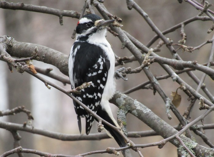 hairy woodpecker 3