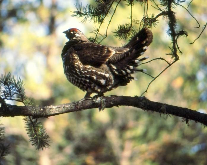 spruce grouse copy fix