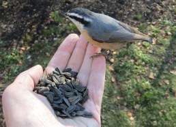 A red-breasted nuthatch picking up lunch on my hand one fall day.