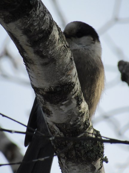 Gray jay trying hard to hide on a cold December day.