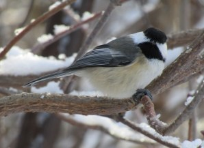 This little chickadee just finished a sunflower seed and is ready for more.