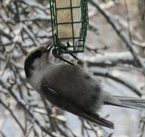 This gray jay was just hangin around for a while.