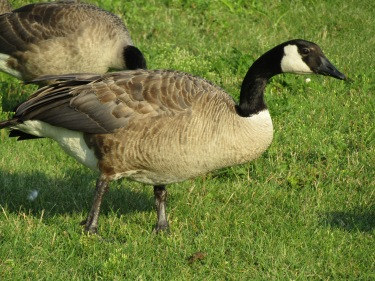 One of our local flock of Canada geese that visit our lakeside park each summer.