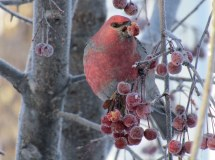 A male pine grosbeak also feasting on some berries on a cold December day.