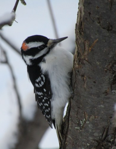 This hairy woodpecker is an oddity, he has an orange spot on this side and a red spot on the other side of his head.