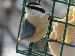 Red-breasted nuthatch in for lunch.