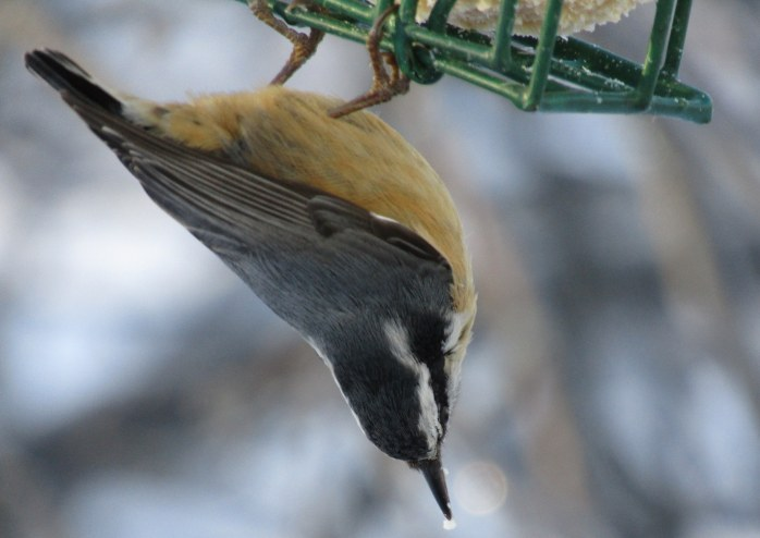 upside down nuthatch 1