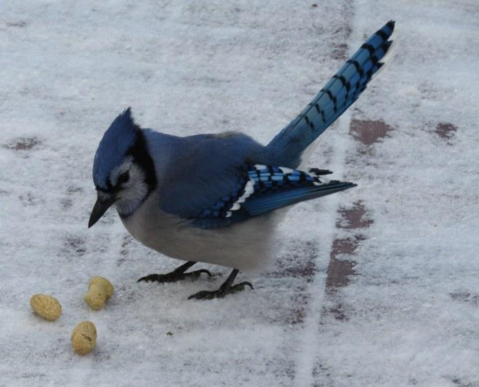 blue baxter