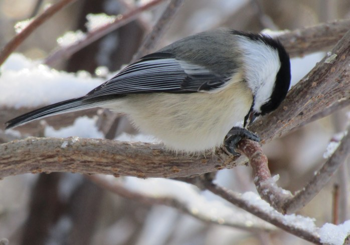 chickadee eating seed