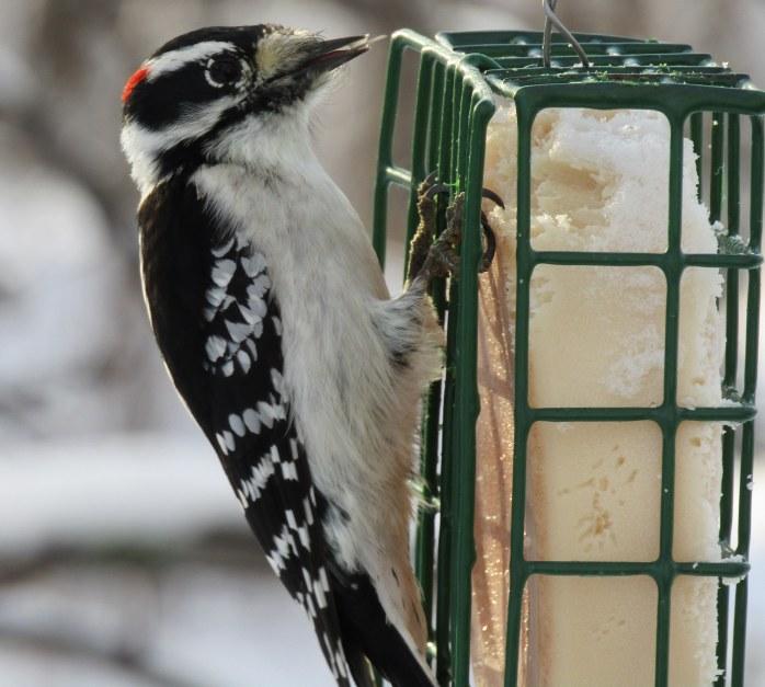 little downy woodpecker