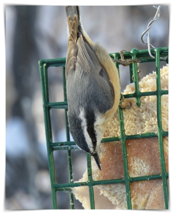 nuthatch hanging around