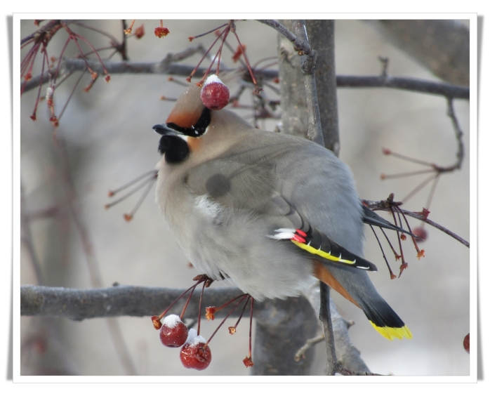 cold bohemian waxwing