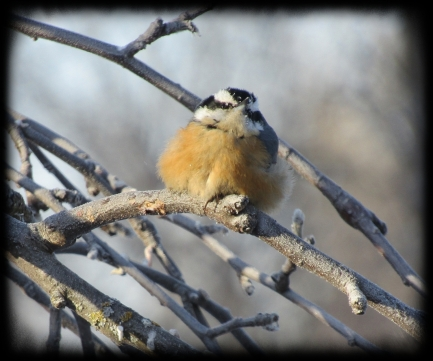 cold nuthatch