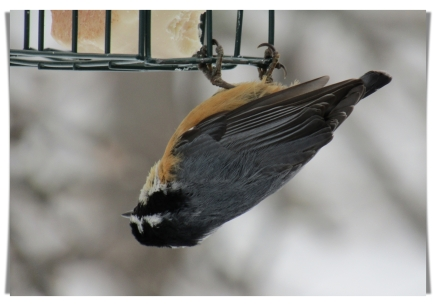 hanging nuthatch