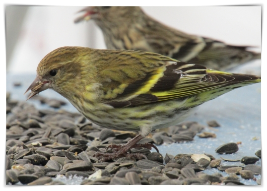 yellow pine siskin