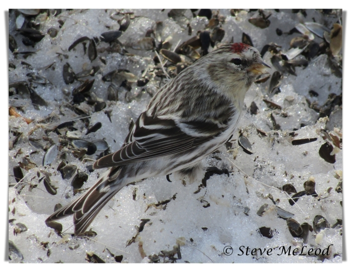 female redpoll 1