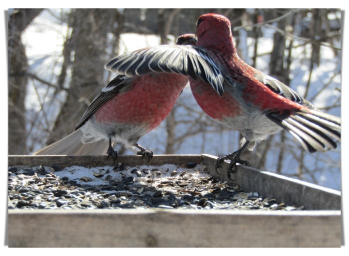 pine grosbeak arguement