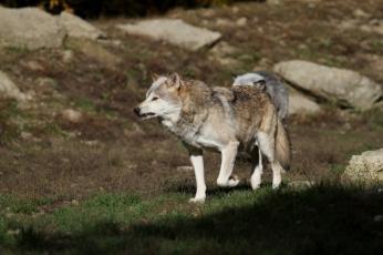 wolf-2892025_1920