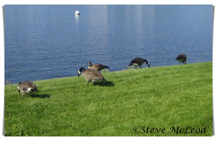 Geese in July6