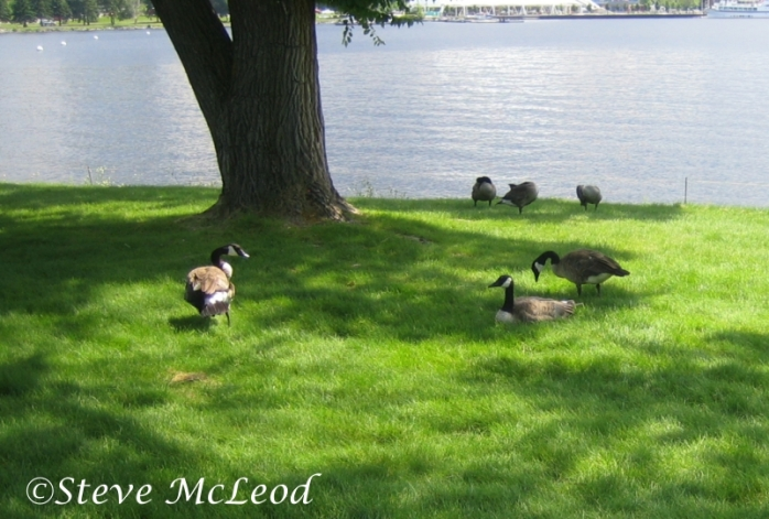 geese at McLeod park 3