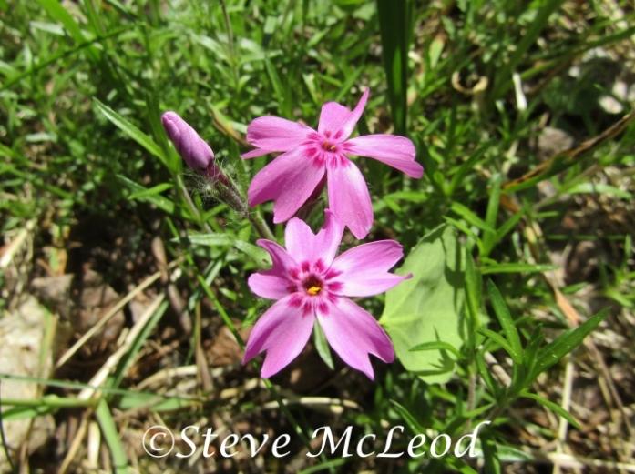 Moss phlox or moss pink
