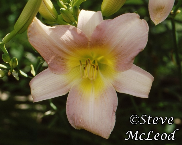 daylily,catherine1