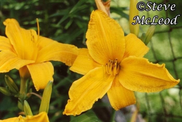 daylily,mary1