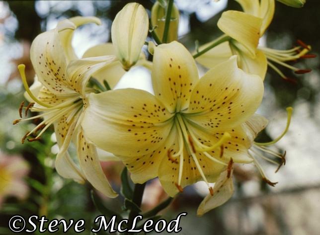 lilies1a