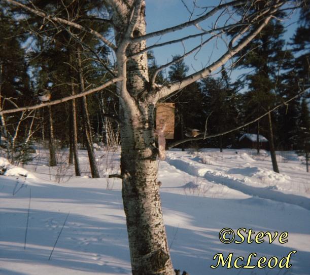 nixon lake boreal chickadees