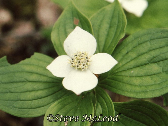 bunchberry3