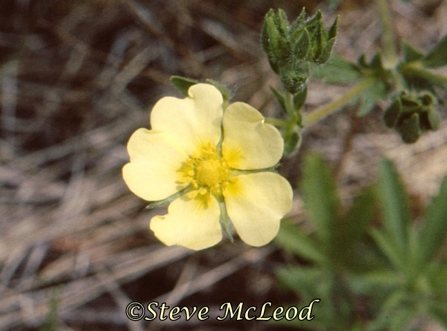 rough-fruited cinquefoil2a