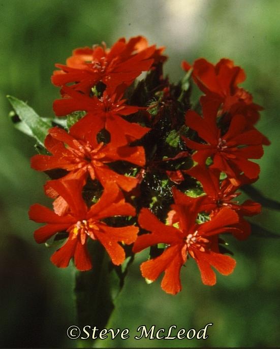 scarlet lychnis1a