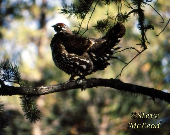 spruce grouse copy