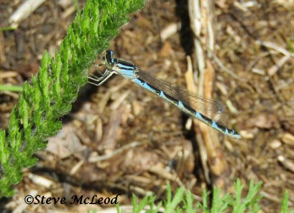 Boreal bluet male