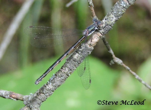 marsh bluet female