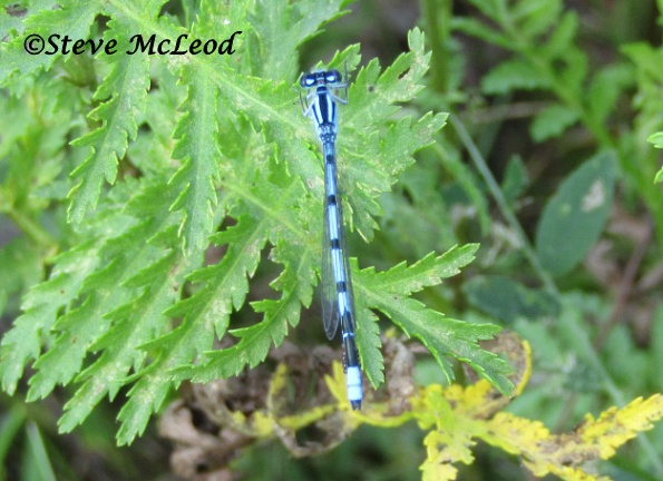 Marsh bluet male