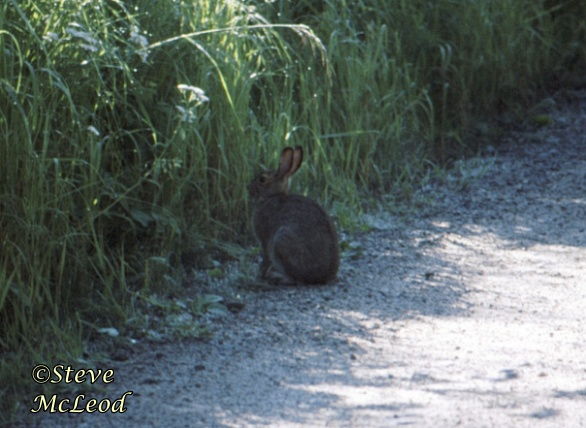 rabbit,stewart lake